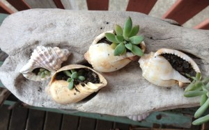 Shells with succulents